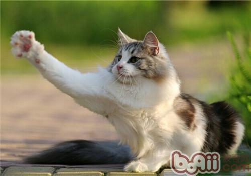 如何帮猫咪剪指甲-猫咪美容