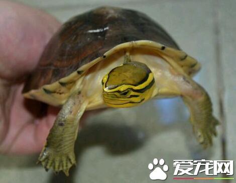 安布闭壳龟怎么养 钙质对乌龟的生长很重要